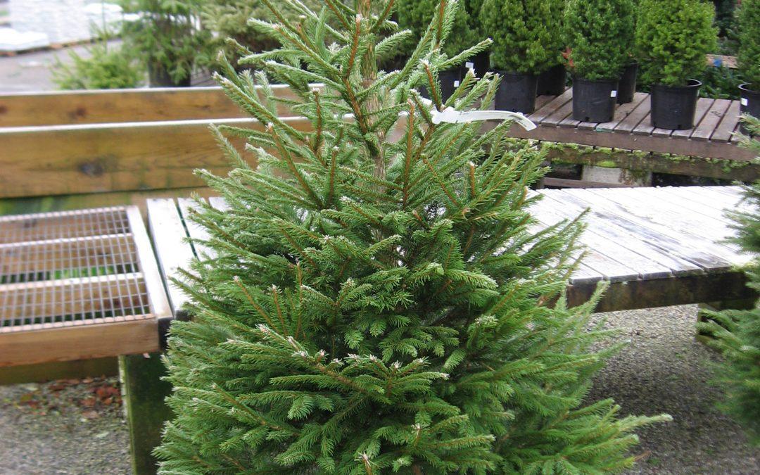El pino de galletas, el nuevo árbol de Navidad